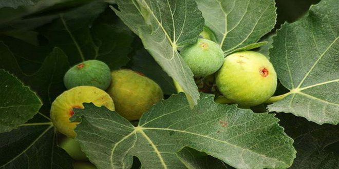 Homs production of fig expected to reach 2,912 tons