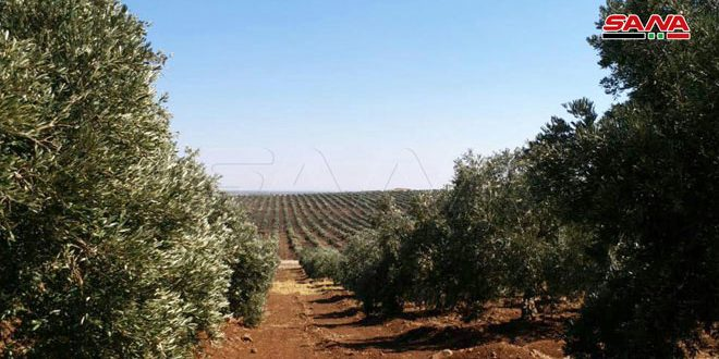 Olive production estimated to reach 74 thousand tons in Hama