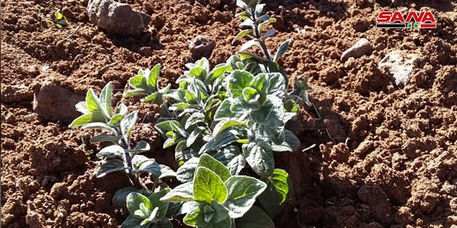 267 hectares area to be increased in al-Ghab region to plant medicinal and aromatic herbs for the upcoming season