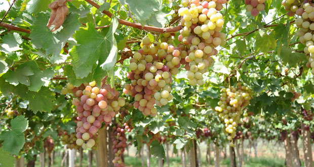 Lattakia's production of grapes expected to increase by about 1,300 tons
