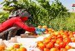 En fotos: Cosecha de tomate en la provincia de Homs supera 8 mil toneladas