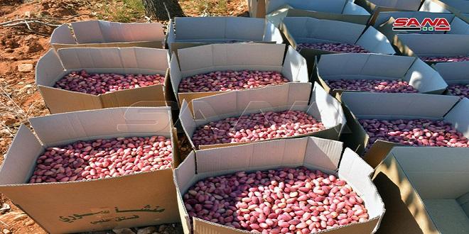 Cosecha y recogida del pistacho en el campo de Hama