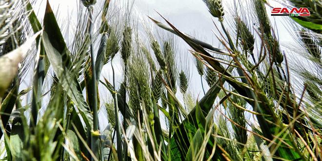 Un millón 450 mil hectáreas de la tierra nacional fueron sembradas de trigo, confirma titular de Agricultura