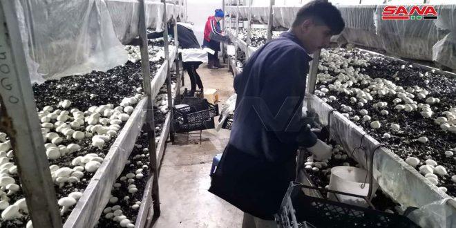 """En fotos: """"Al Sahel"""" un exitoso proyecto de cultivo de champiñón blanco en la provincia de Latakia"""