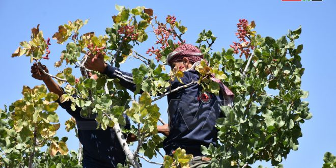 Cosecha de pistachos al norte de Hama