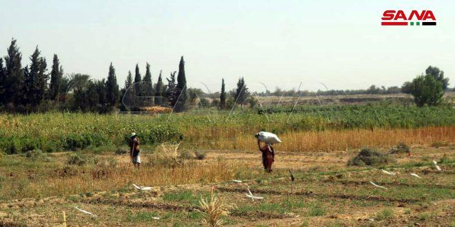 Deir Ezzor rehabilita tierras agrícolas en zonas liberadas del terrorismo