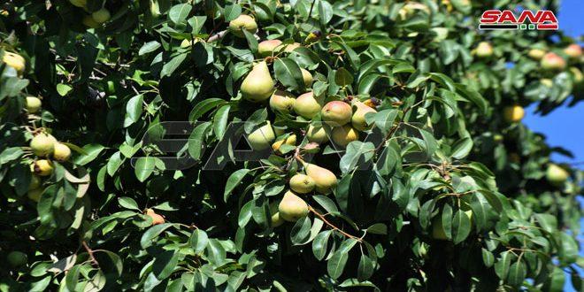 برآورد تولید 1675 تن گلابی در السویدا