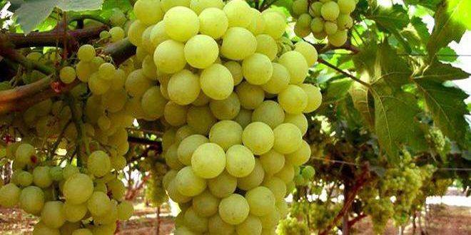 В Кунейтре в этом сезоне планируется собрать урожай винограда около 840 тонн