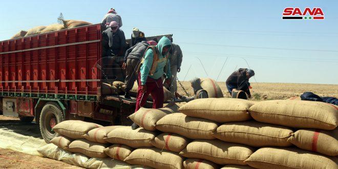 В провинции Дейр-эз-Зор начали прием урожая пшеницы