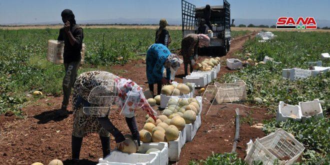 В провинции Сувейда ожидают хороший урожай дынь