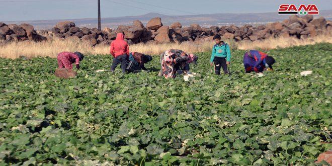 В Сувейде собрали около 1 100 тонн огурцов