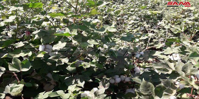 В провинции Хасаке полным ходом идет сбор урожая хлопчатника