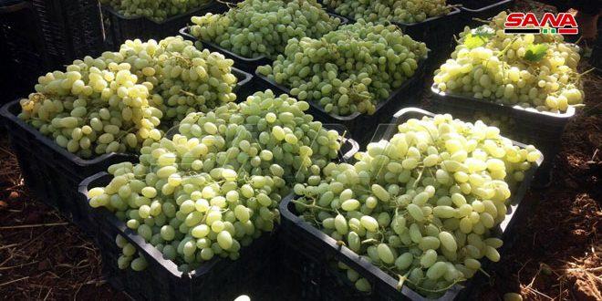 Урожай винограда в провинции Кунейтра составит 2 800 тонн