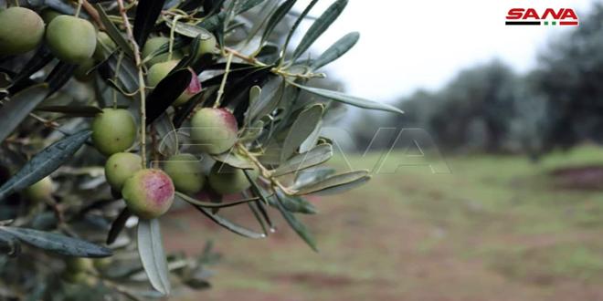Сбор урожая оливок в селении Тлейль провинции Хомс (фото)