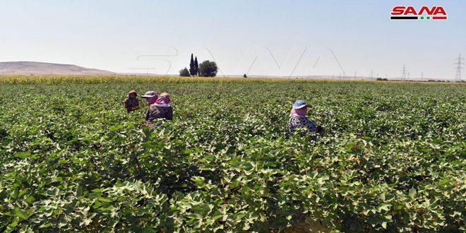 Suriye'de Pamuk Ekili Alanlar 32 Bin Hektarı Aşarken Beklenen Üretim 100 Bin Ton Üzeri
