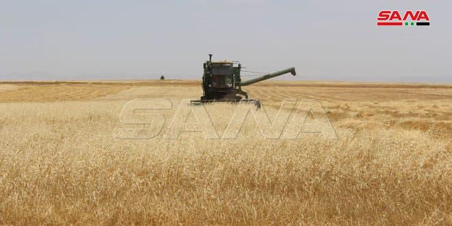 Hama'da 70.000 hektar Buğday ve Arpa Hasadı Yapıldı.. Süreç Hızla Devam Ediyor