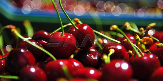 Serghaya's cherry is first for exportation, frost affected production this season