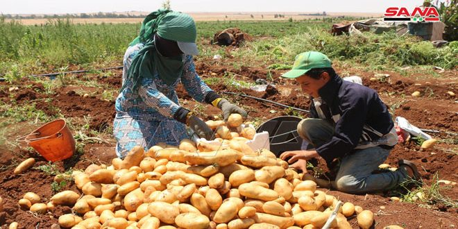 Potato production in Daraa province exceeds 80 thousand tons
