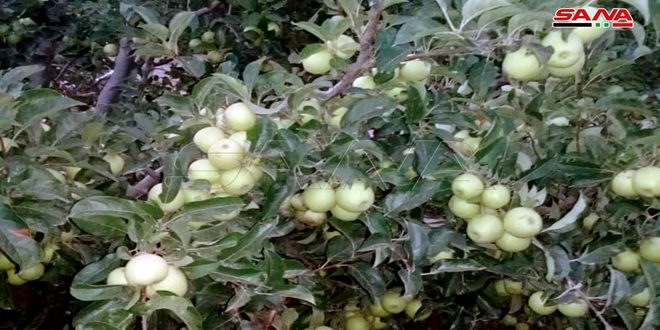 Apple production in Hama province estimates at 22,000 tons for current season