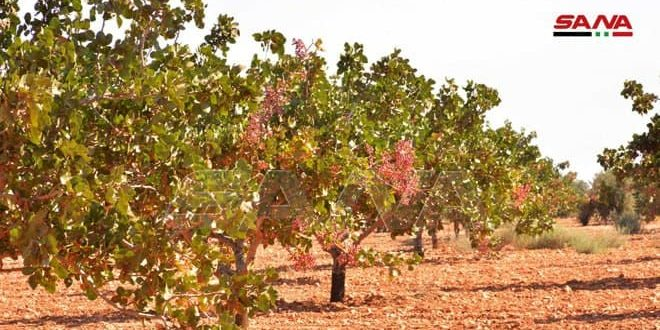 Pistachio production for the season 2020 estimated at about 65 thousand tons