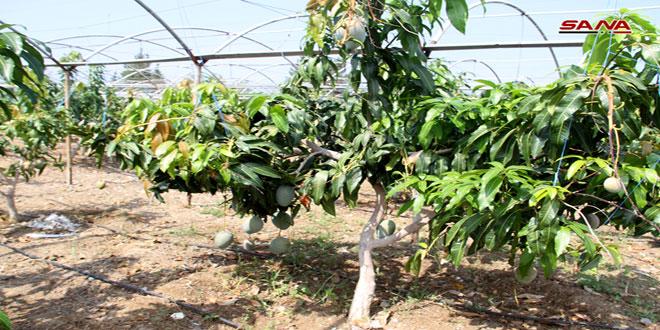 Cultivación de frutas tropicales gana terreno en la costa siria