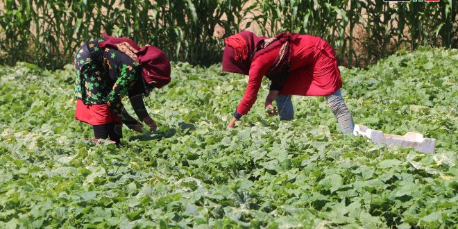 Siria, tierra de bondad desde hace miles de años.. cultivo del pepino en Deraa.(fotos)