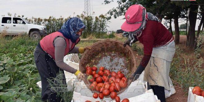 Municipio sirio en Alepo produce más de 100 mil toneladas de tomate. (fotos)