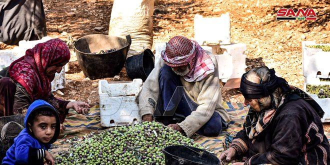 Zonas liberadas del terrorismo en Idlib producen 11 mil toneladas de aceitunas