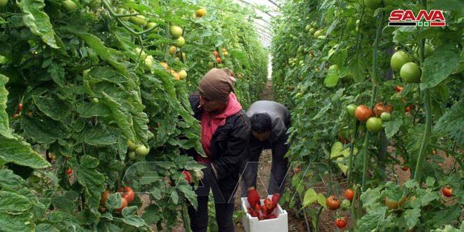 Provincia siria se destaca por sus cultivos protegidos (+fotos)