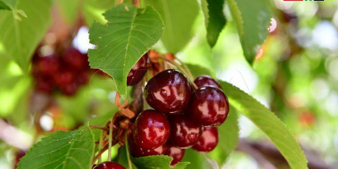 Localidad siria produce más de 6 mil toneladas de cerezas