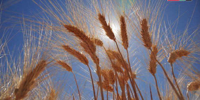 Continúa cosecha y entrega del trigo en Damasco-campo