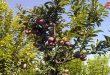 Estiman en más de 48 mil toneladas producción de melocotón en Siria