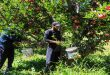 En fotos: cosecha de manzanas en localidad de Arneh, Damasco-campo