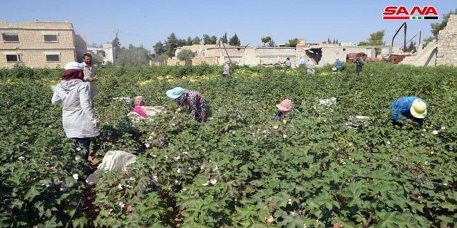 Siria siembra unas 29 mil hectáreas de algodón durante actual temporada