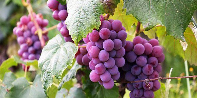 بیش از 29 هزار تن انگور در حماه تولید شد
