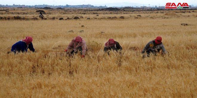 برداشت بیش از 85 هزار هکتار از محصولات کشاورزی در سویداء