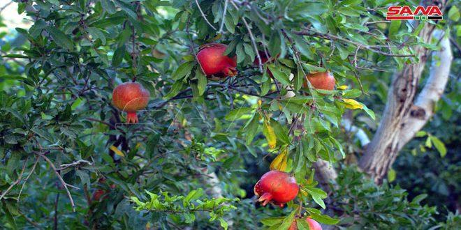 برآورد تولید 30 تن انار در باغات درعا