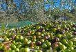 102 millions oliviers se trouvent en Syrie