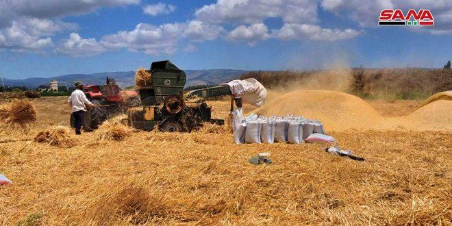 Début des opérations de moisson bu blé dans la banlieue de Homs