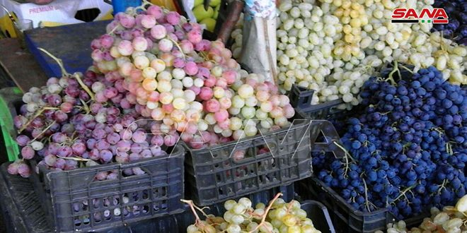 Début de la cueillette des raisins à Soueidaa