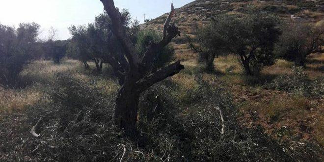 Des colons israéliens prennent d'assaut le sud de Naplouse et coupent des oliviers