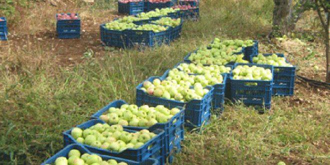 ייצוא התפוחים של א-סואדאא החוצה