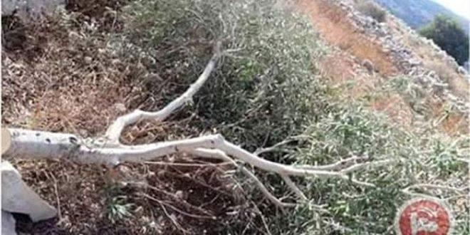 מתנחלים ישראלים תקפו אדמותיהם של הפלסטינים בדרום שכם
