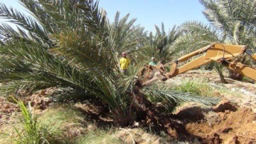 הכוחות הישראליים כרתו 100 עצי תמרים בעמקים