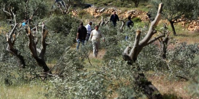 כוחות הכיבוש עוקרים 200 עצי פרי מערבית לסלפית