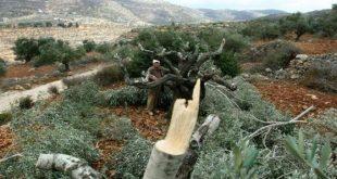 מתנחלים ישראלים עוקרים עשרות עצי זית