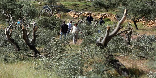 כוחות הכיבוש עוקרים עשרות עצי זית בדרום בית לחם