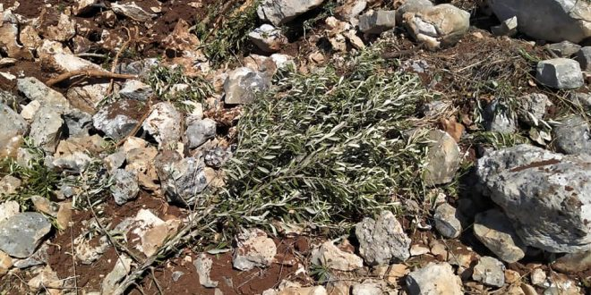 מתנחלים ישראלים משמידים 140 מטעי זית דרומית לבית לחם