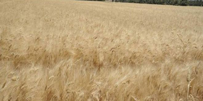 Турецкие оккупанты и наемники уже похитили 15% урожая пшеницы на севере провинции Хасаке