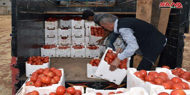 В провинции Алеппо планируют собрать обильный урожай томатов